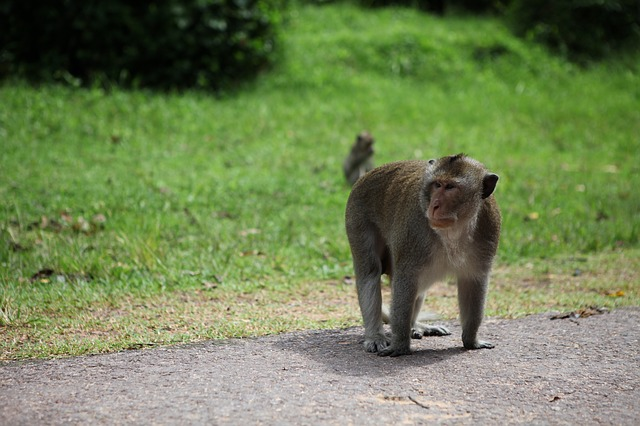 Monkey on Road