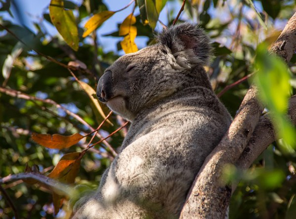 Koala Bear Queensland, Australia