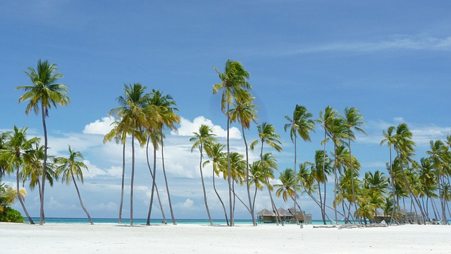 Maldives Palms