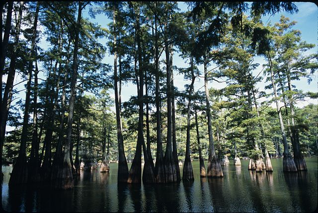 Trees At Big Thicket National Preserve Texas